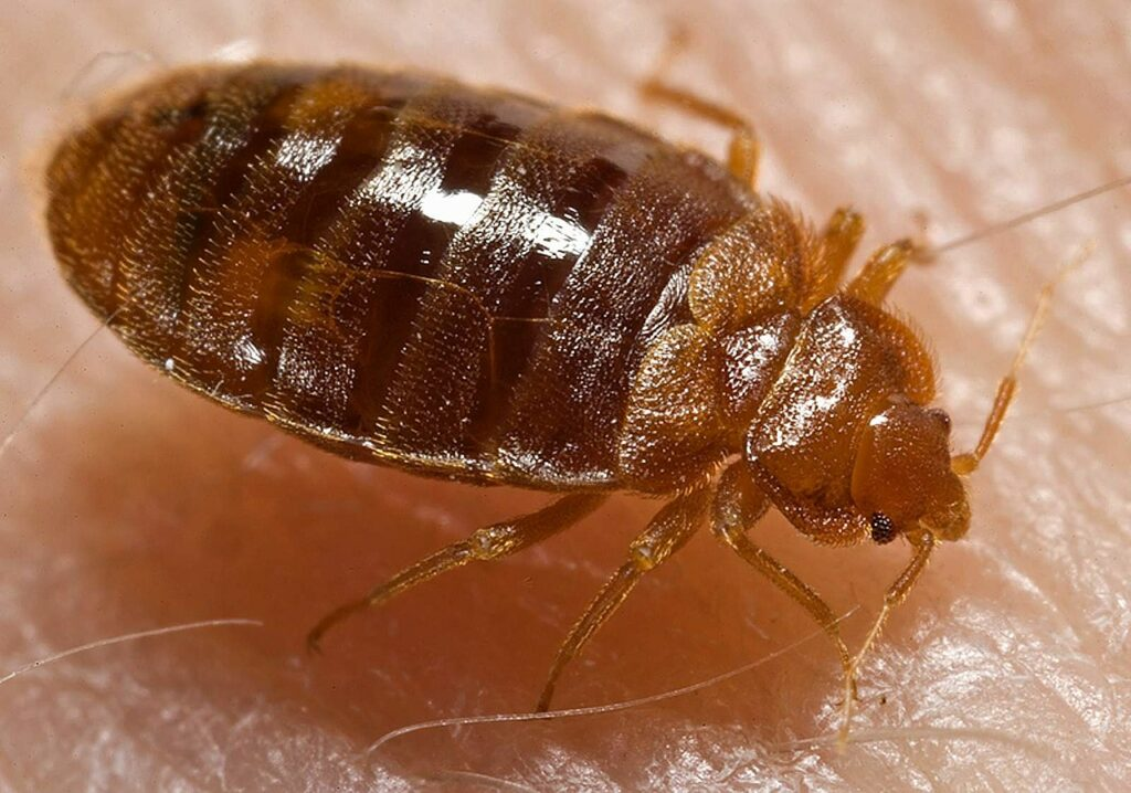 Adult Bed Bug Picture